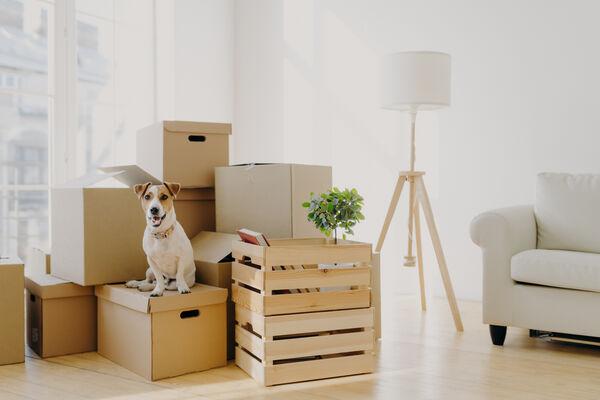 Dog Sitting on Moving Boxes